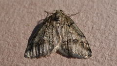 Tephronia_sp._05147