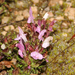 Pedicularis_sylvatica_9029