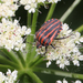 Graphosoma_lineatum_9748