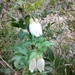 _dicotiledoneas-ranunculales-ranunculaceae__clematis_cirrhosa_(tombadent)_20150208_172152-2_vall_del_silenci