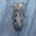 20170424_agrotis_exclamationis_1_