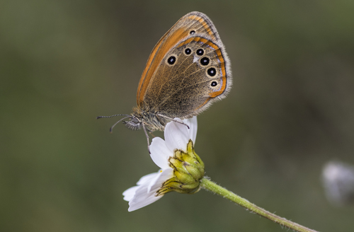 Coenonympha_glycerion