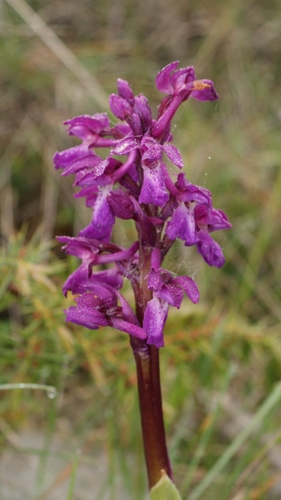 Orchis_mascula_00474