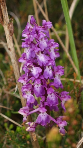 Orchis_mascula_00475