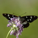 Limenitis_reducta_(3)