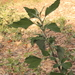Chenopodium_album_003