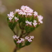 Centranthus_calcitrapae004