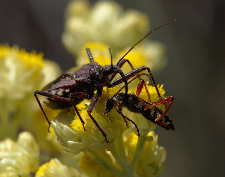 Rhynocoris erythropus - Photo (c) Jaume Piera, algunos derechos reservados (CC BY-ND)