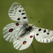 Parnassius_apollo