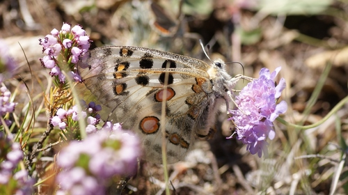 Parnassius_apollo_04444