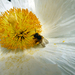 Romneya_coulteri._20160617_004_m__madrid__rjbm