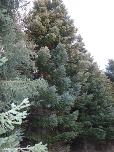 Picea_abies_(1)