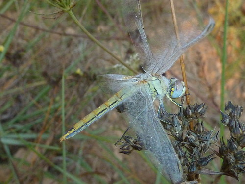 Sympetrum_fonscolombei__(1)