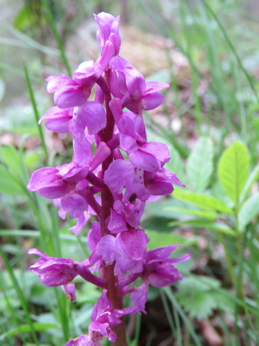 Orchis_mascula_(2)