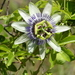20190522_cal_penyasco1_passiflora_sp