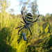 Argiope bruennichi - Photo (c) Sergi, todos los derechos reservados, uploaded by SergiCR