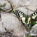 Papallona_reina_-_papilio_machaon_(castell_montgr%c3%ad)_(28_mar%c3%a7_2016)_(3)