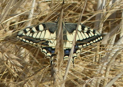 20190619_calnani_papilio_machaon