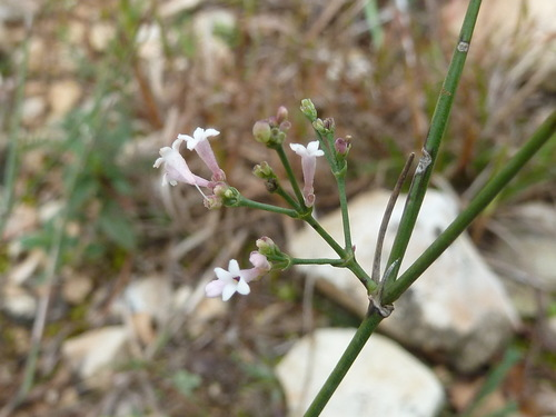 Asperula_cynanchica__(2)