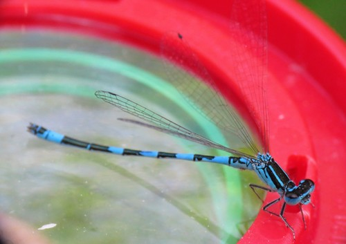 Coenagrion_mercuriale