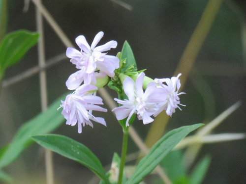 Saponaria_officinalis