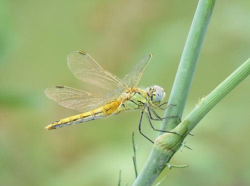 Sympetrum_fonscolombii