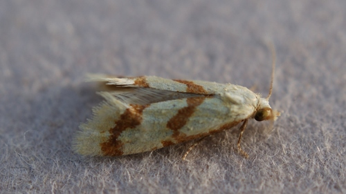 Aethes_sp._02288