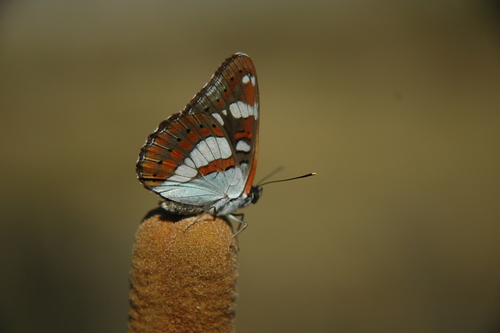 Limenitis_reducta