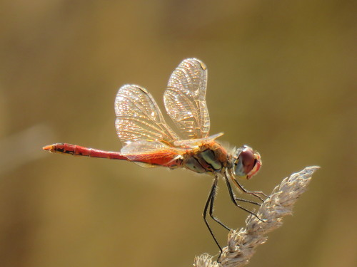 Sympetrum_fonscolombii_(2)