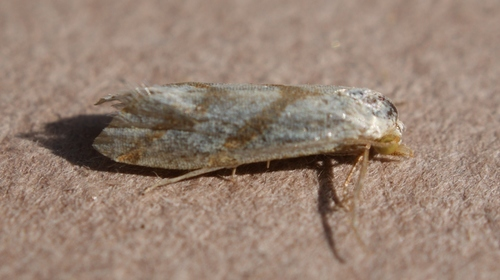 Aethes_sp._03101