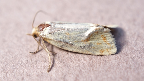 Tortricidae_02943
