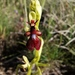 Ophrys_insectifera
