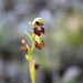 Ophrys_insectifera_......4_