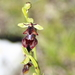 Ophrys_insectifera_3
