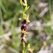 Ophrys_insectifera_5