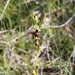 Ophrys_insectifera_6