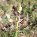 Ophrys_scolopax_apiformis_4