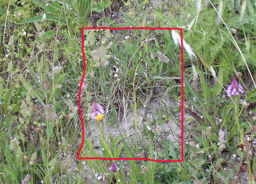 Anacomptis_y_ophrys_speculum__copia