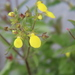 Calceolaria_spp.__1