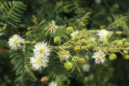 Mimosa_quitensis_1