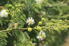 Mimosa_quitensis