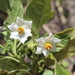 Solanum_nigrescens_(2)
