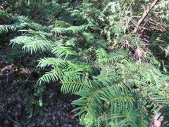 Taxus_baccata