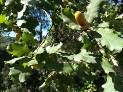 Quercus_pubescens_(fruit)