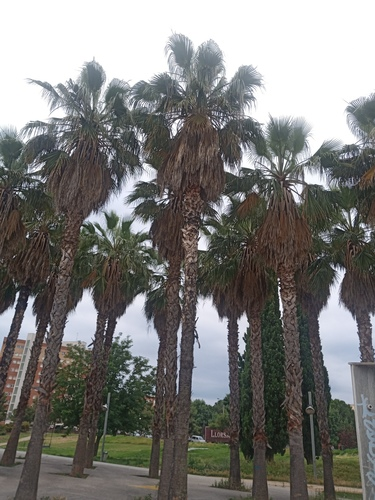 Washingtonia_sp.