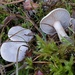 03_clitocybe_phyllophila0