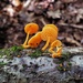 Favolaschia_calocera1