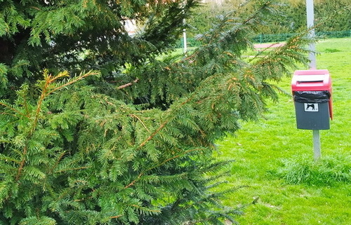 Taxus_baccata_210301_1227