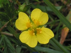 167-6753_img_potentilla_erecta_tn