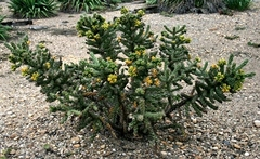 Cylindropuntia_sp_01